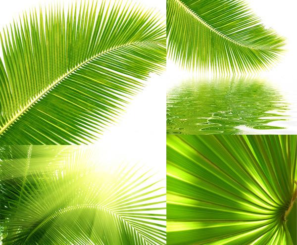 椰子树树叶特写