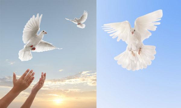 鸽子主题图片素材