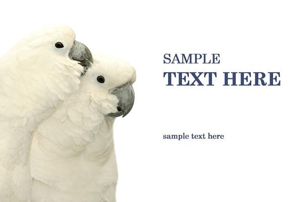 白底鹦鹉-野生动物高清图库-名片之家