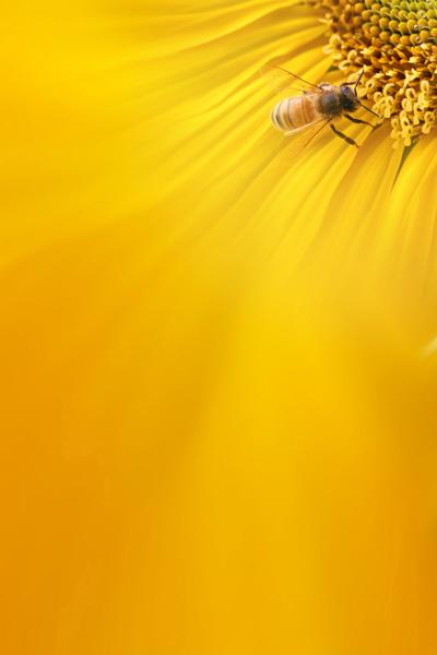 向日葵背景图片素材